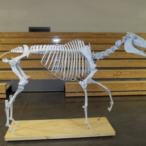 Finished Skeleton at Locust Trace, Lexington